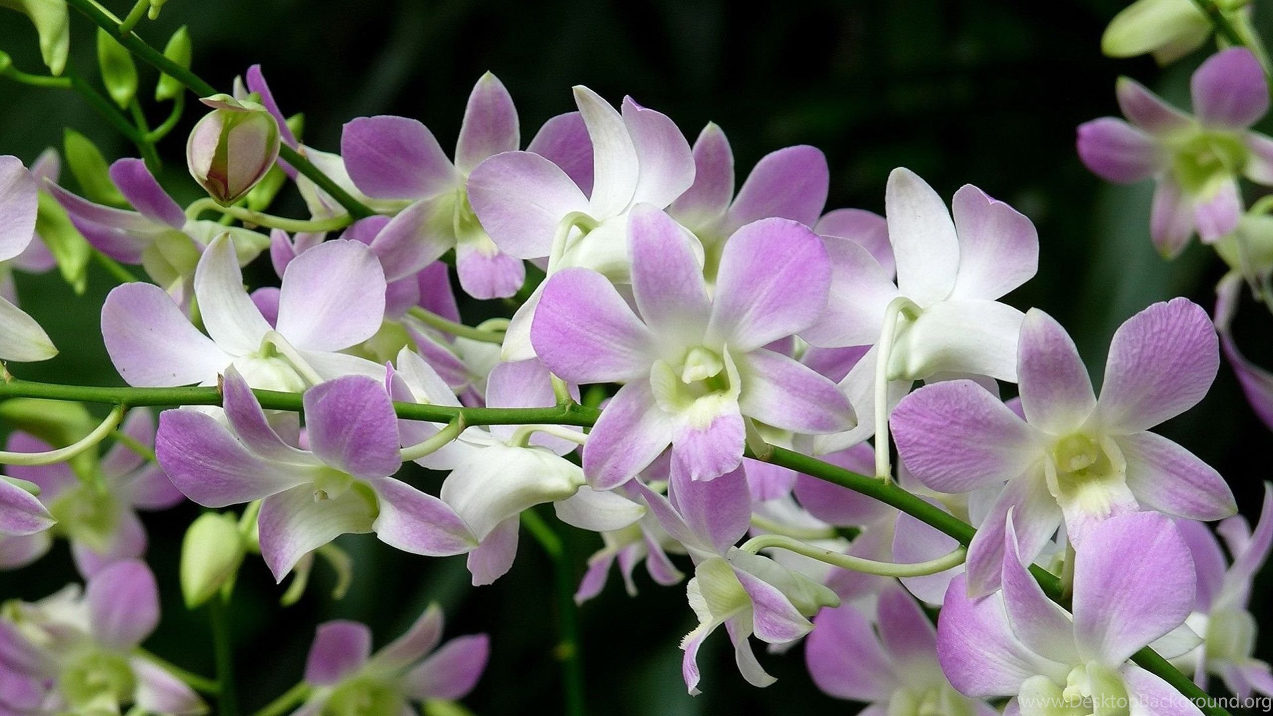 Free download orchid flower wallpapers 08 3936 full size netbook voltagebd