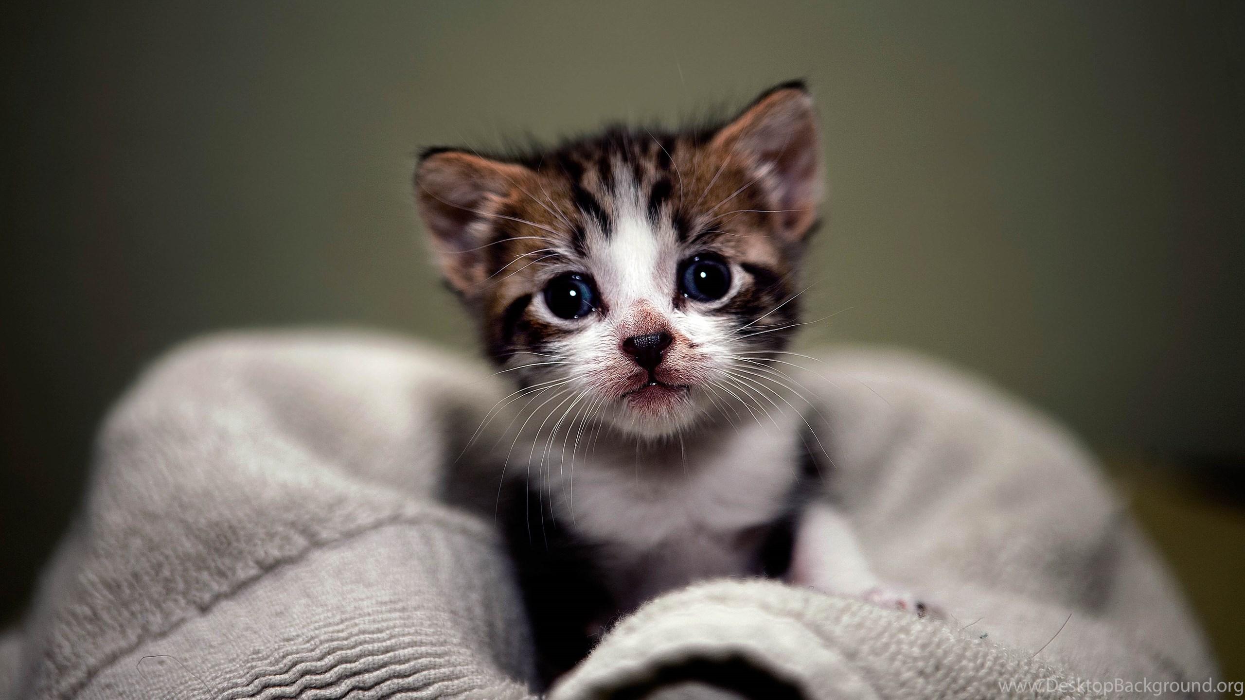 cute kitten hd wallpapers desktop background