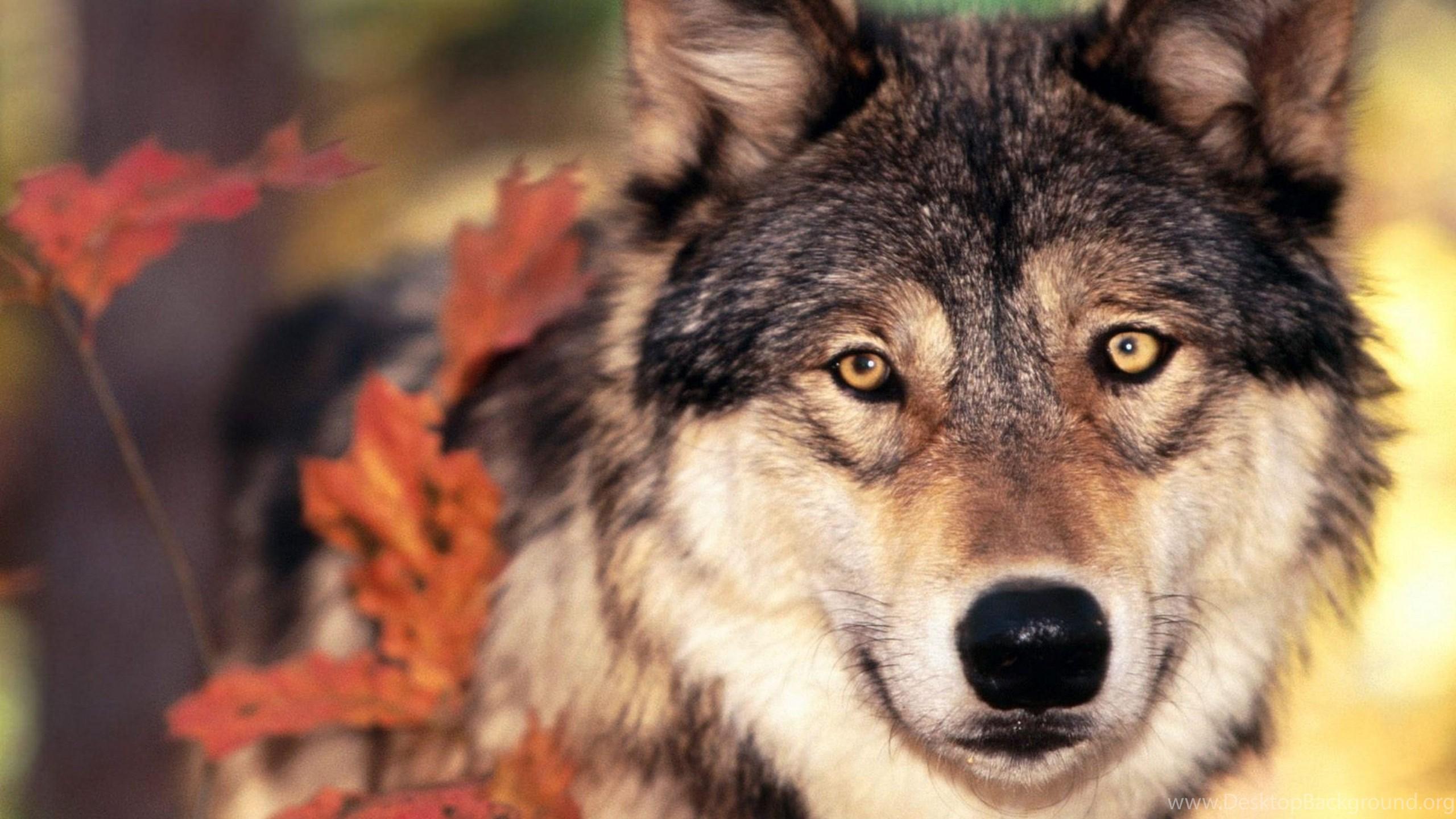 Page 4 4k Ultra Hd Wolf Wallpapers Hd Desktop Backgrounds 3840x2160 Desktop Background