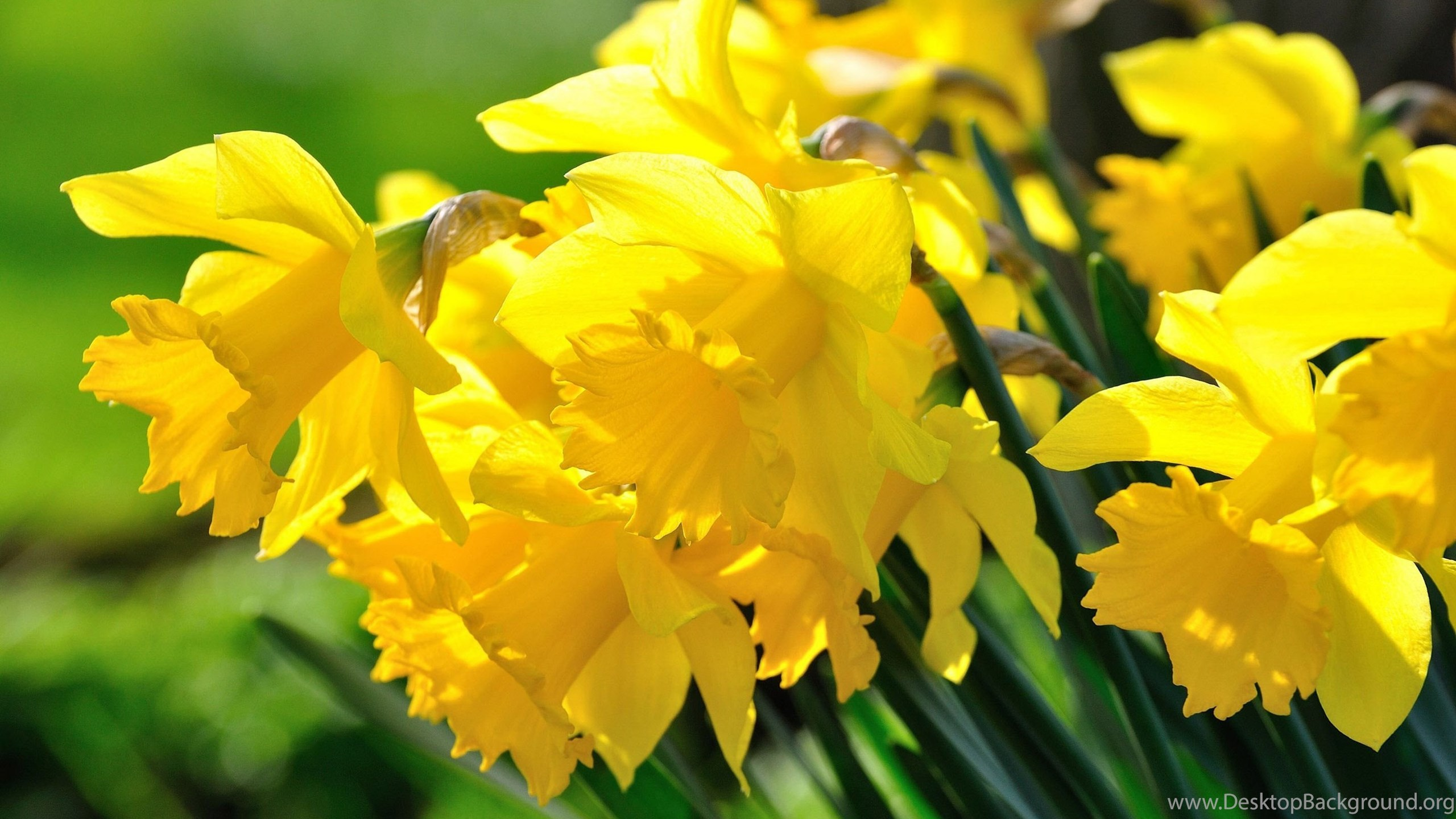 daffodils wallpapers flower wallpapers desktop background