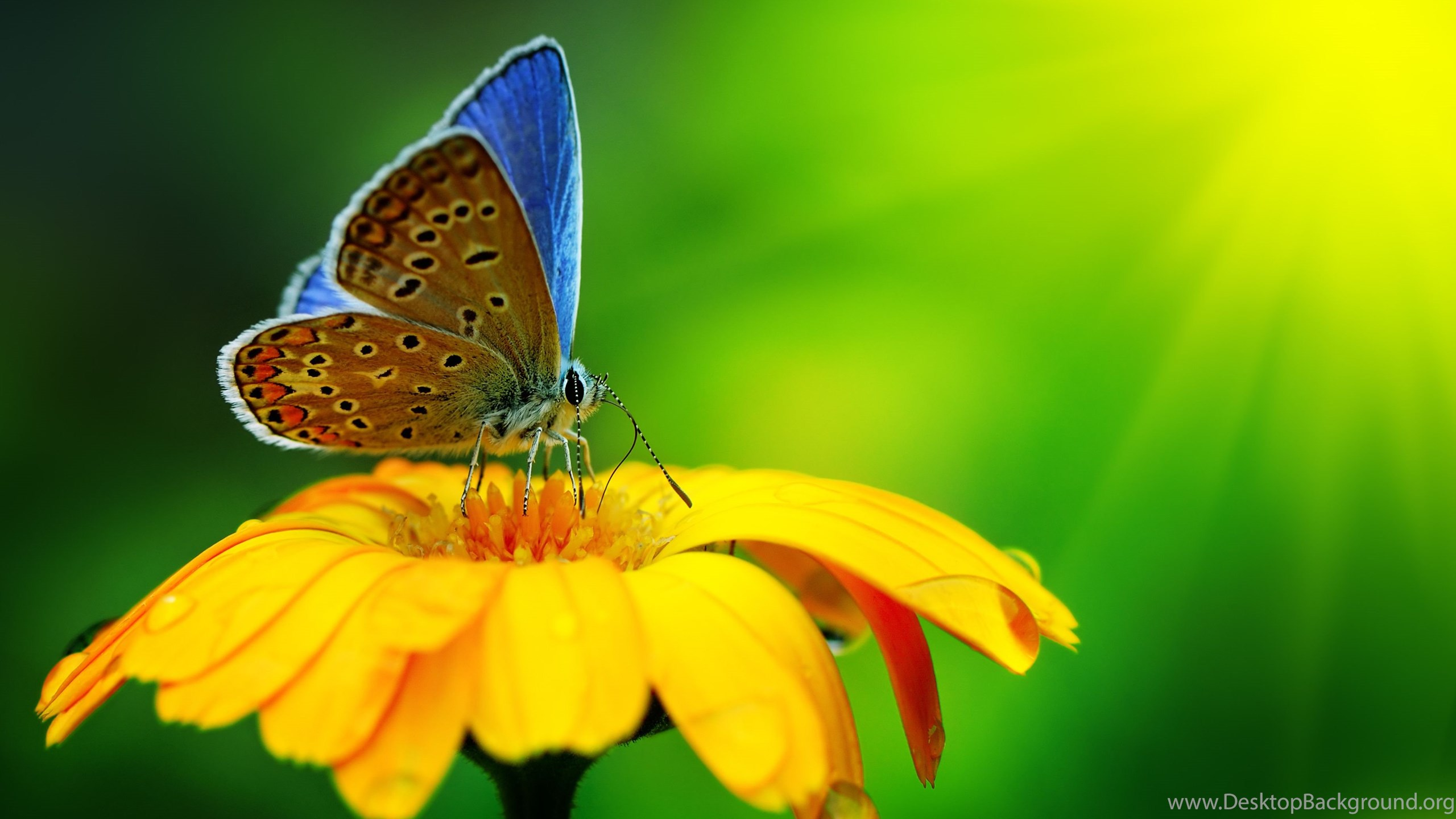 Butterfly On Yellow Color Flowers Hd Wallpapers Desktop Background