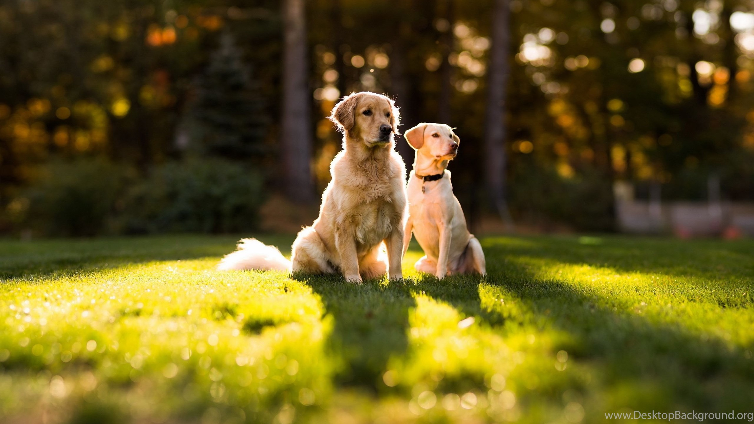 Golden Retriever Dog Hd Wallpapers New Wallpapers New Wallpapers