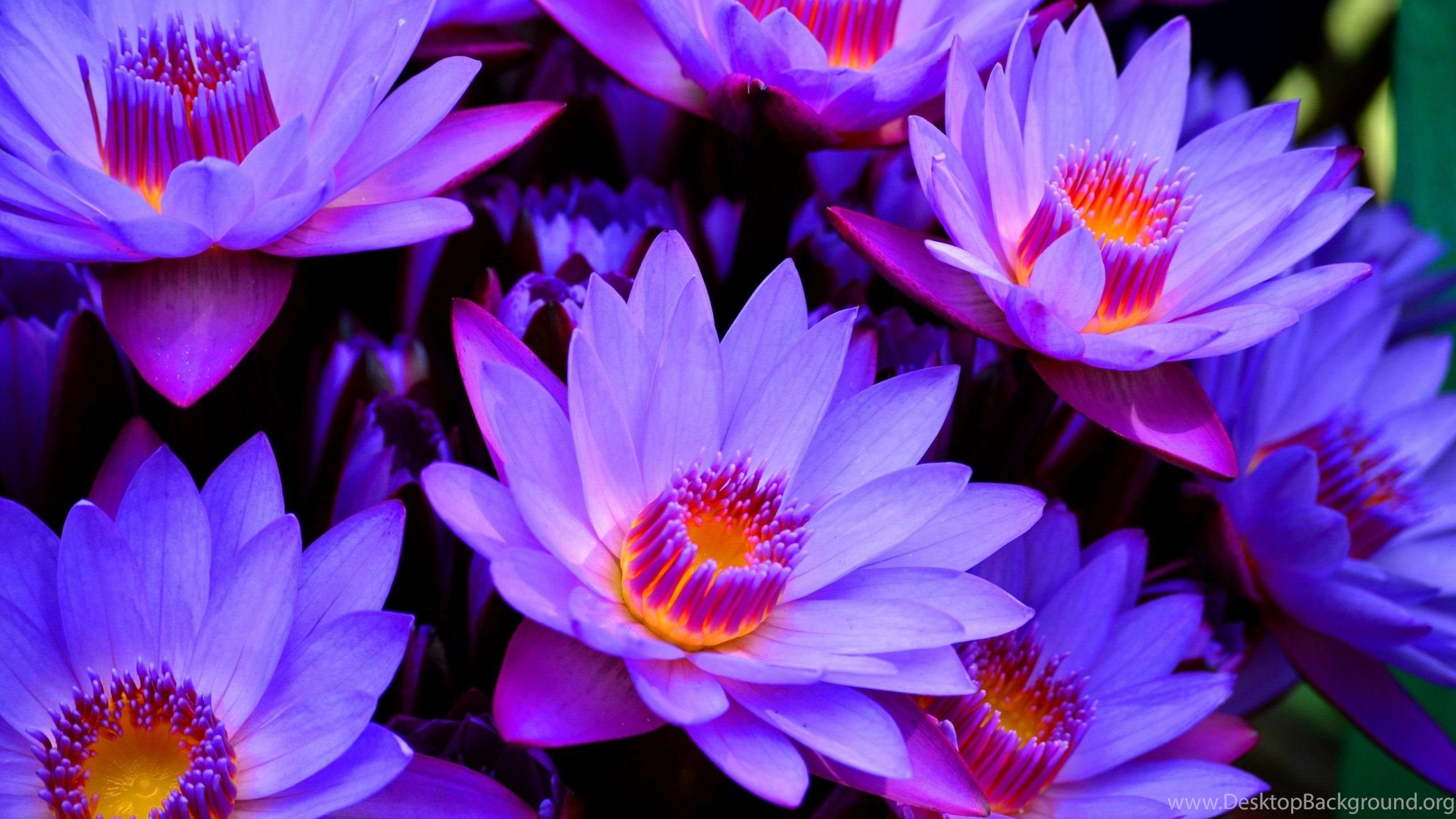 Blue Lotus Flower Wallpapers HD For Desktop In High Resolution