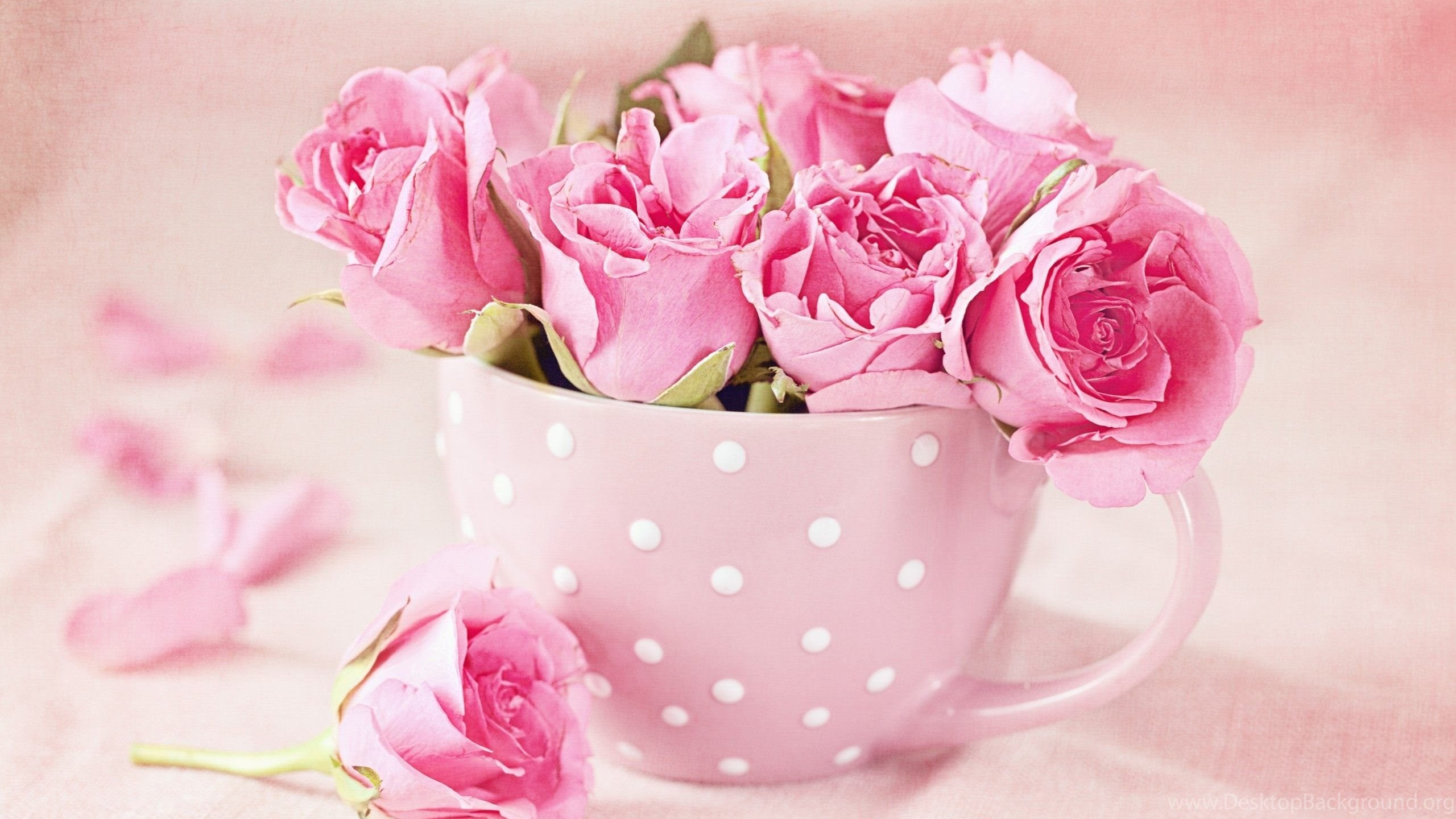 pink roses wallpapers hd download of beautiful roses desktop background