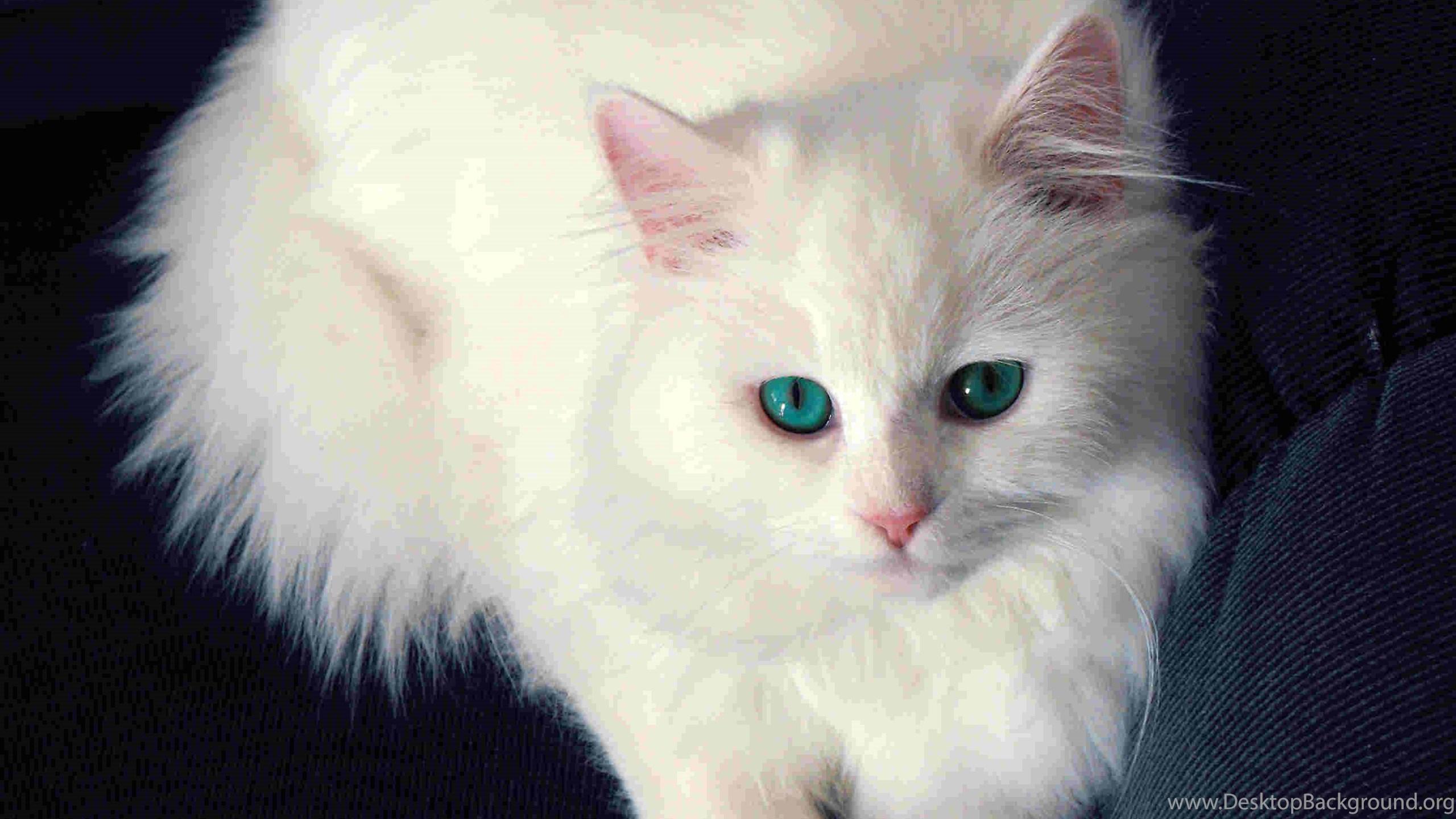 Mobile White Cat Wallpapers Desktop Background