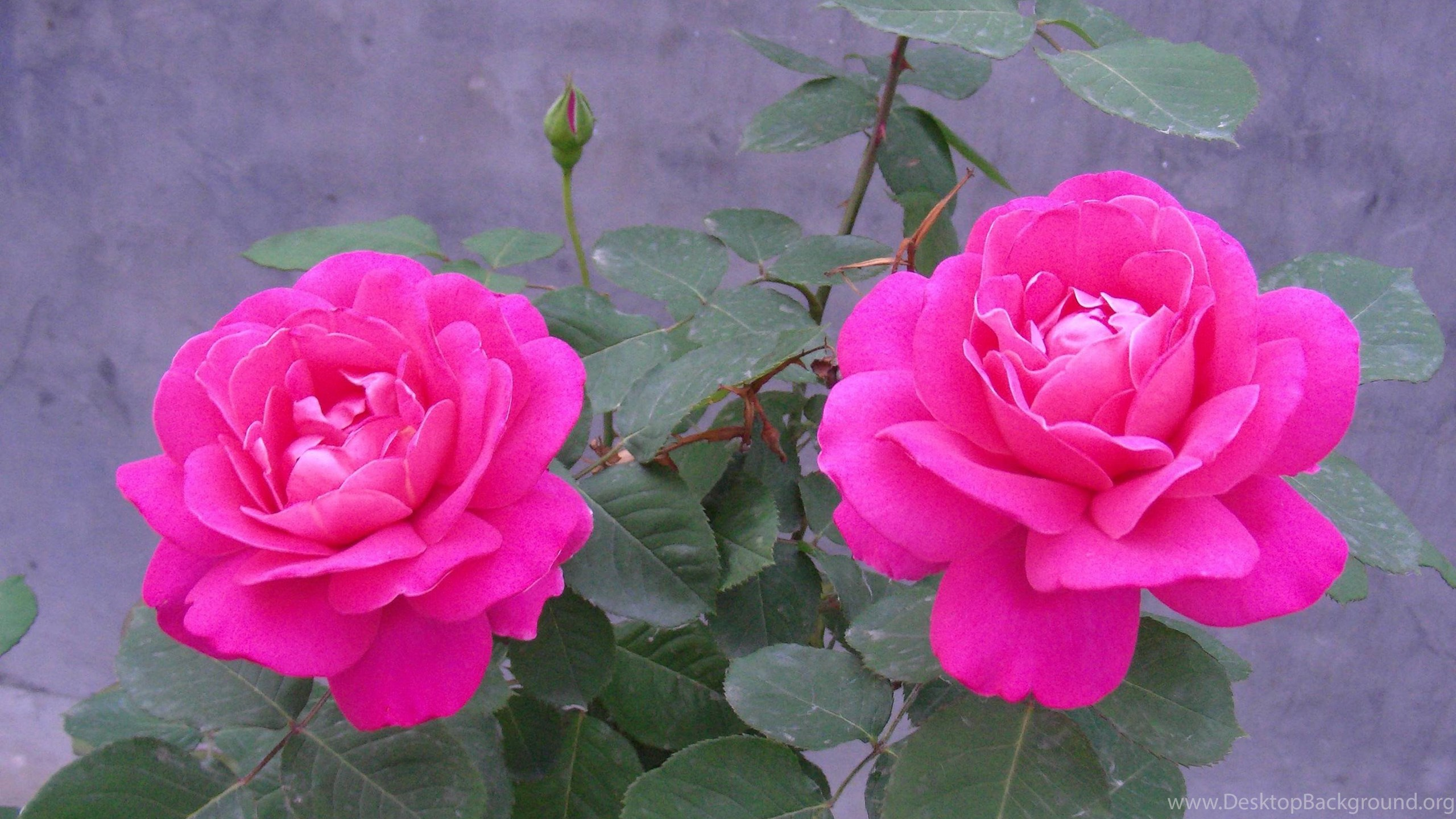 Rose Flower Wallpapers Hd Wallpapers Cave Desktop Background