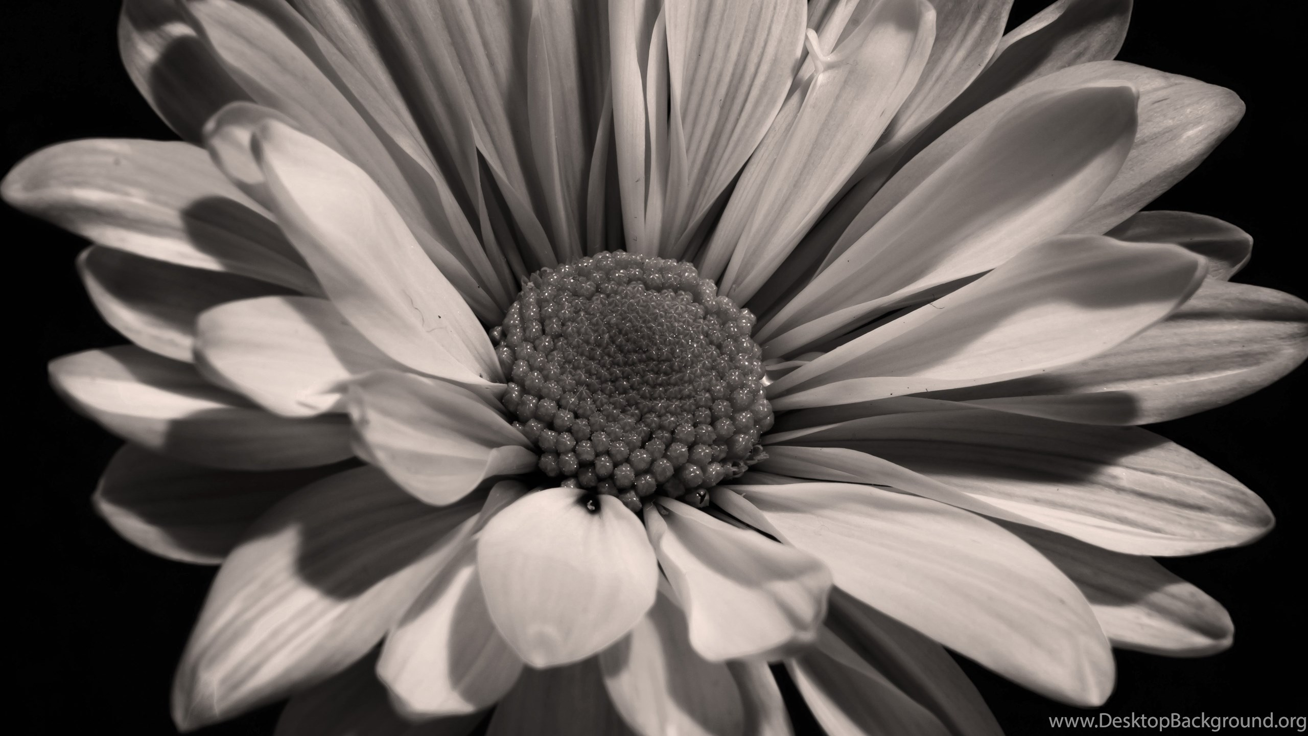 Black And White Sunflower Photography Wallpapers Wallpaper Desktop