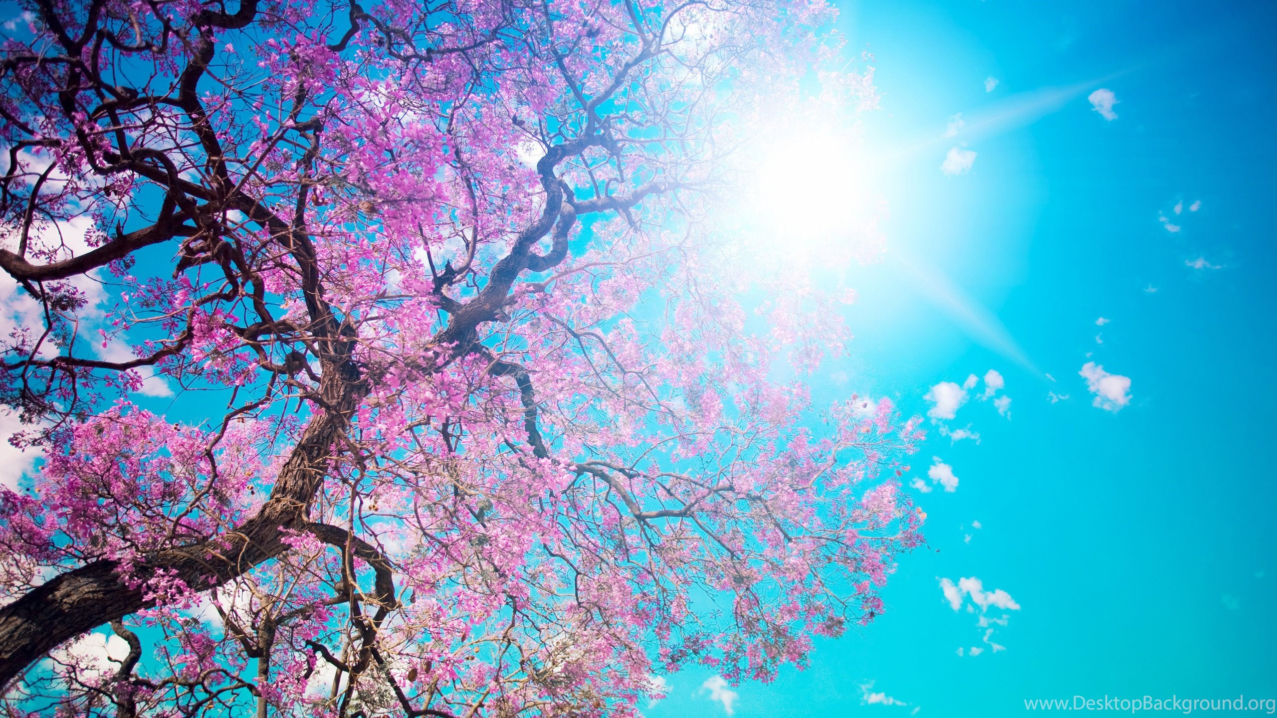 Wallpapers Sakura Pink Flowers Blue Sky 2560x1440 Desktop Background