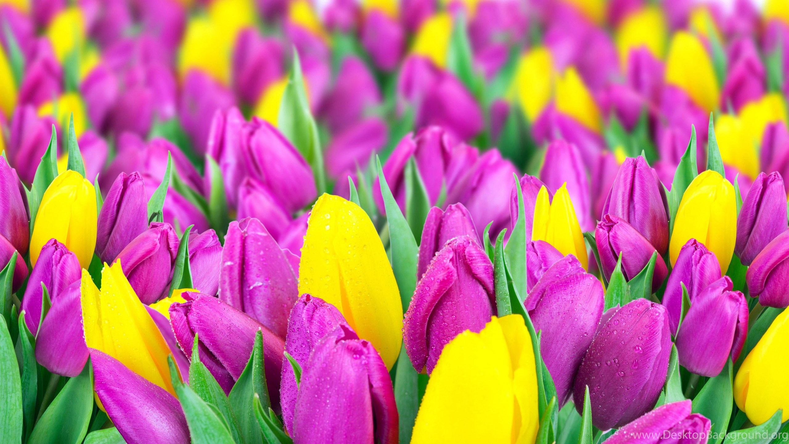 Yellow And Purple Tulips Wallpapers HD Free Desktop Backgrounds