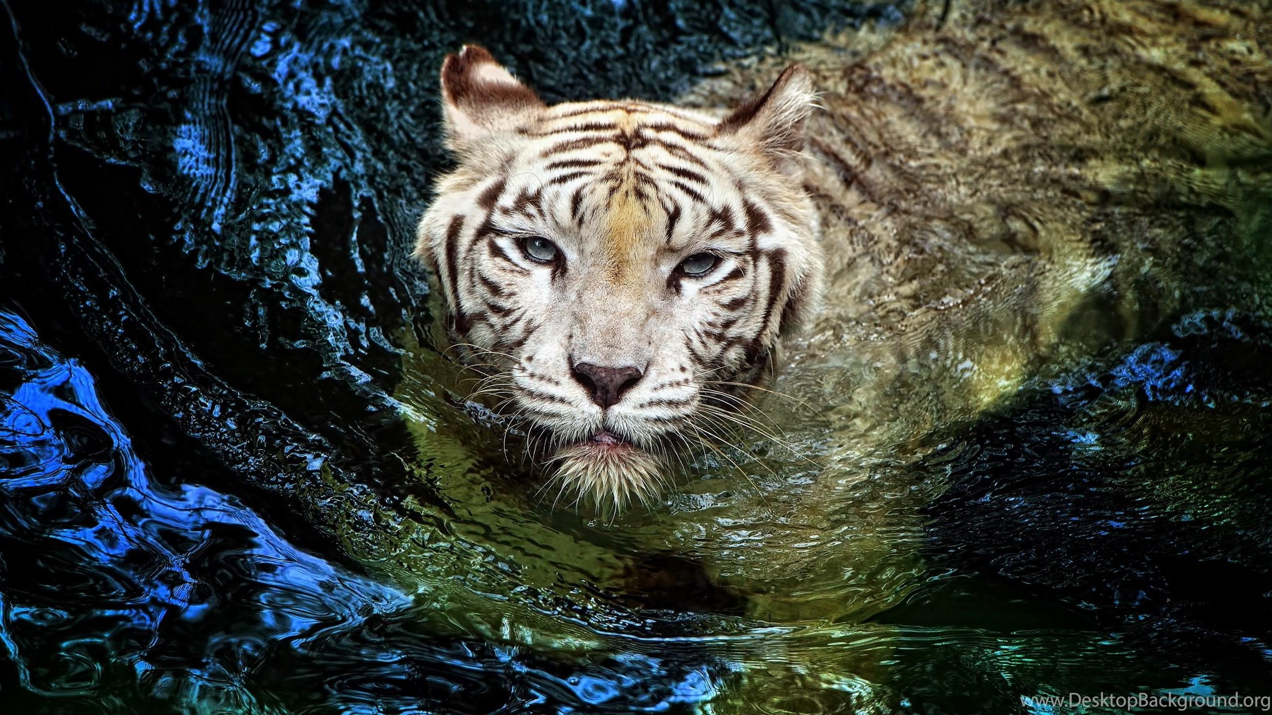 white tiger swimming water animal hd wallpapers desktop background
