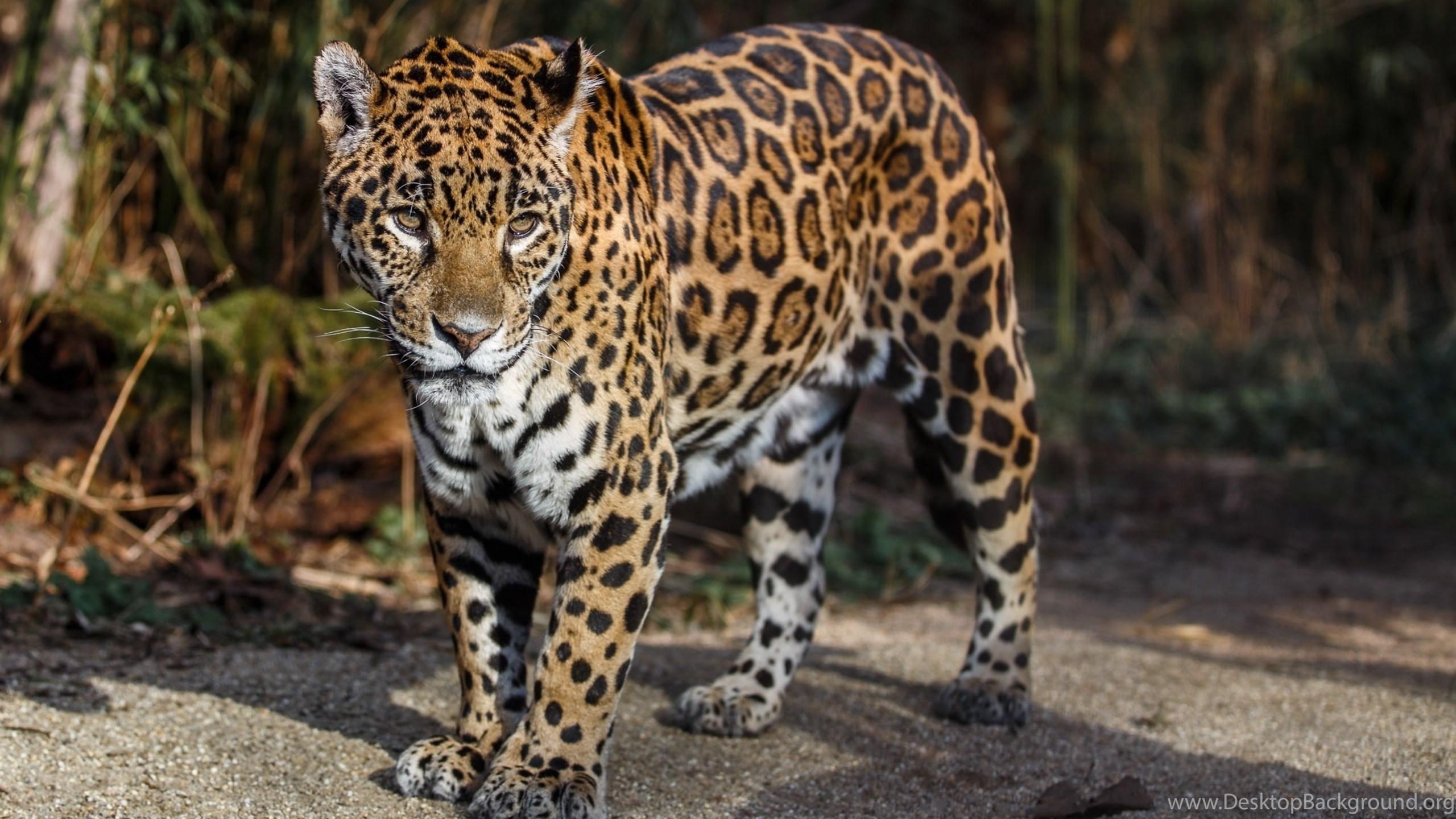 download wallpapers 3840x2400 jaguar, wild cat, predator, spots