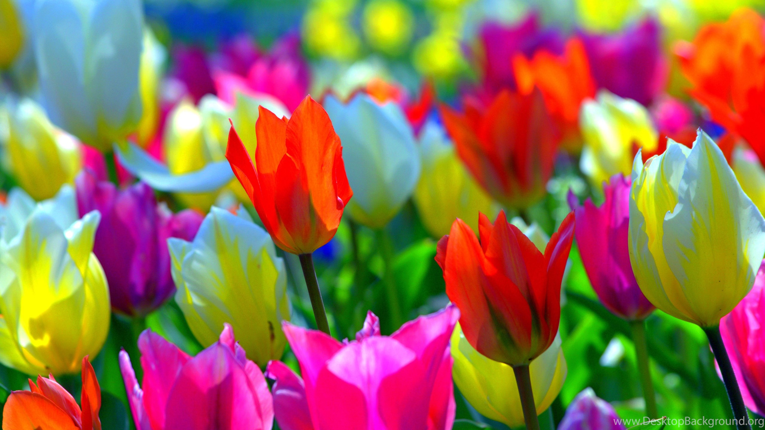 colorful spring flowers colors tulips nature desktop