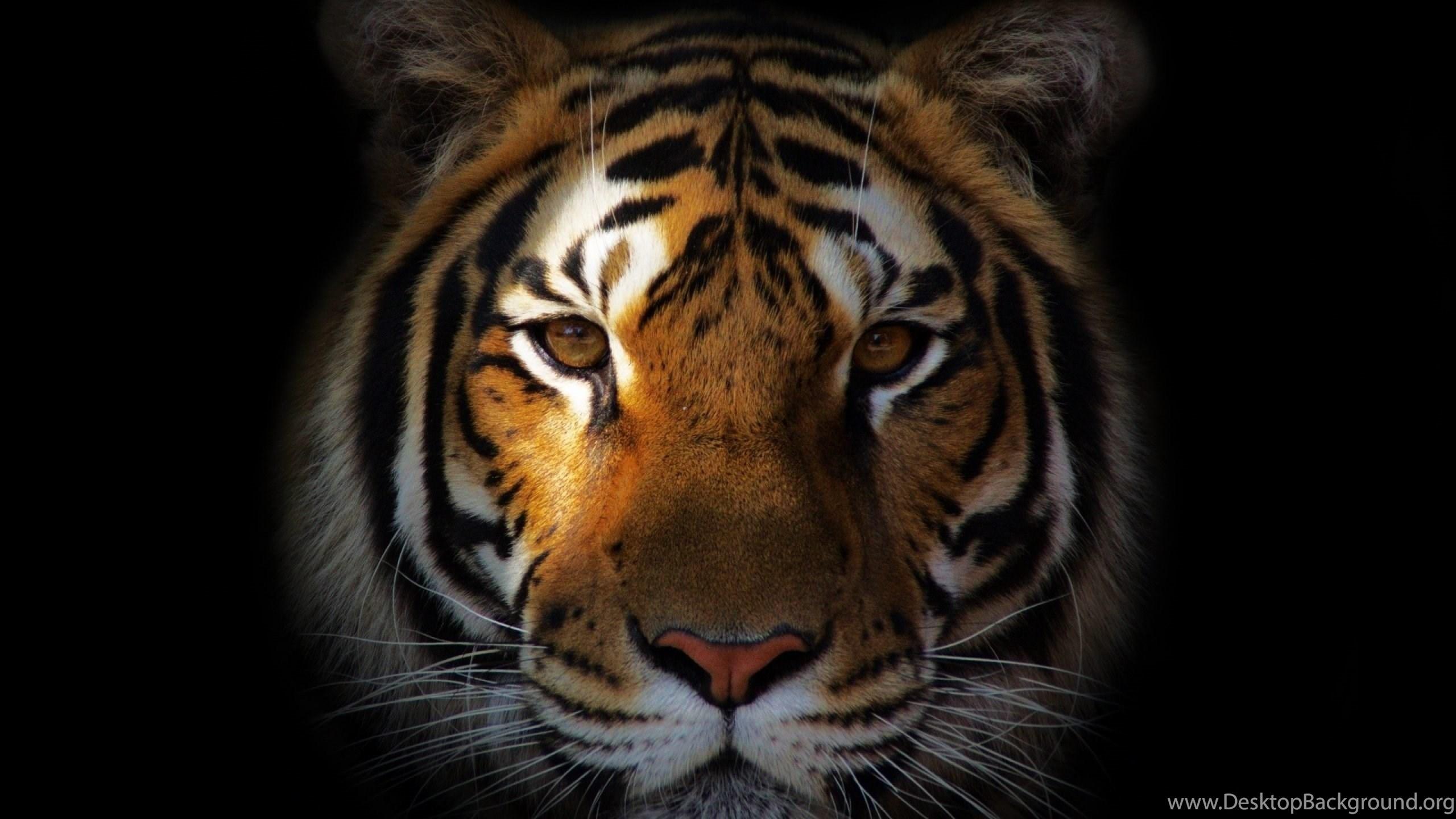 white tiger hd wallpapers for desktop & mobile download desktop