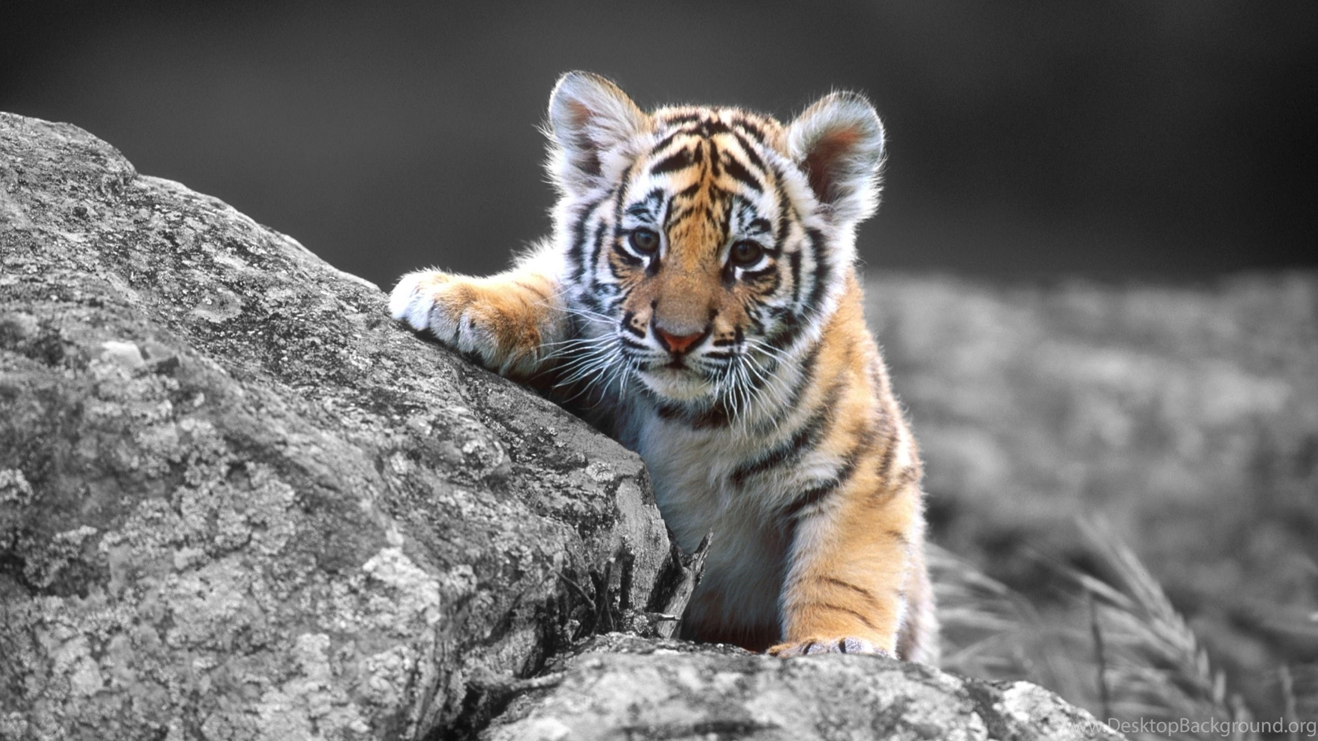 desktop tiger hd wallpapers widescreen dowload 3d hd pictures