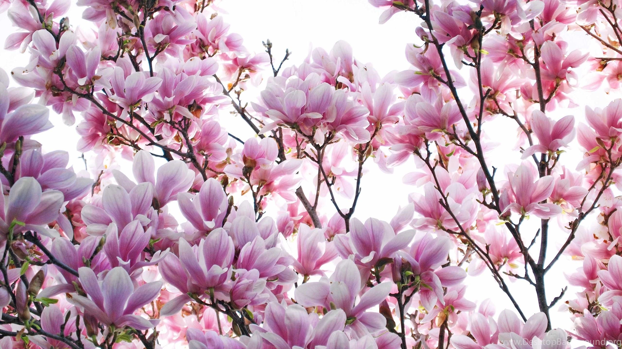 Magnolia flower wallpapers best collection free download desktop background - Magnolia background ...