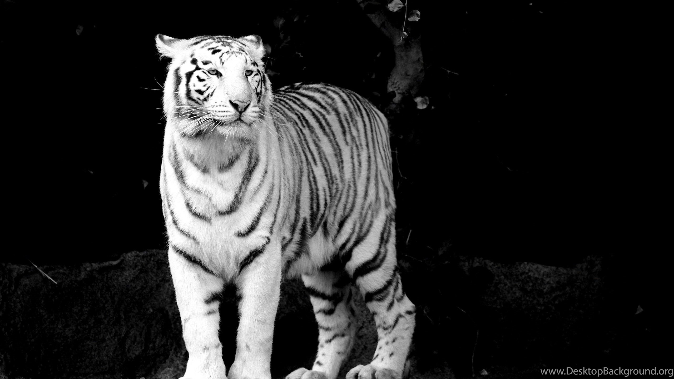 black and white tiger wallpapers desktop : animal wallpapers