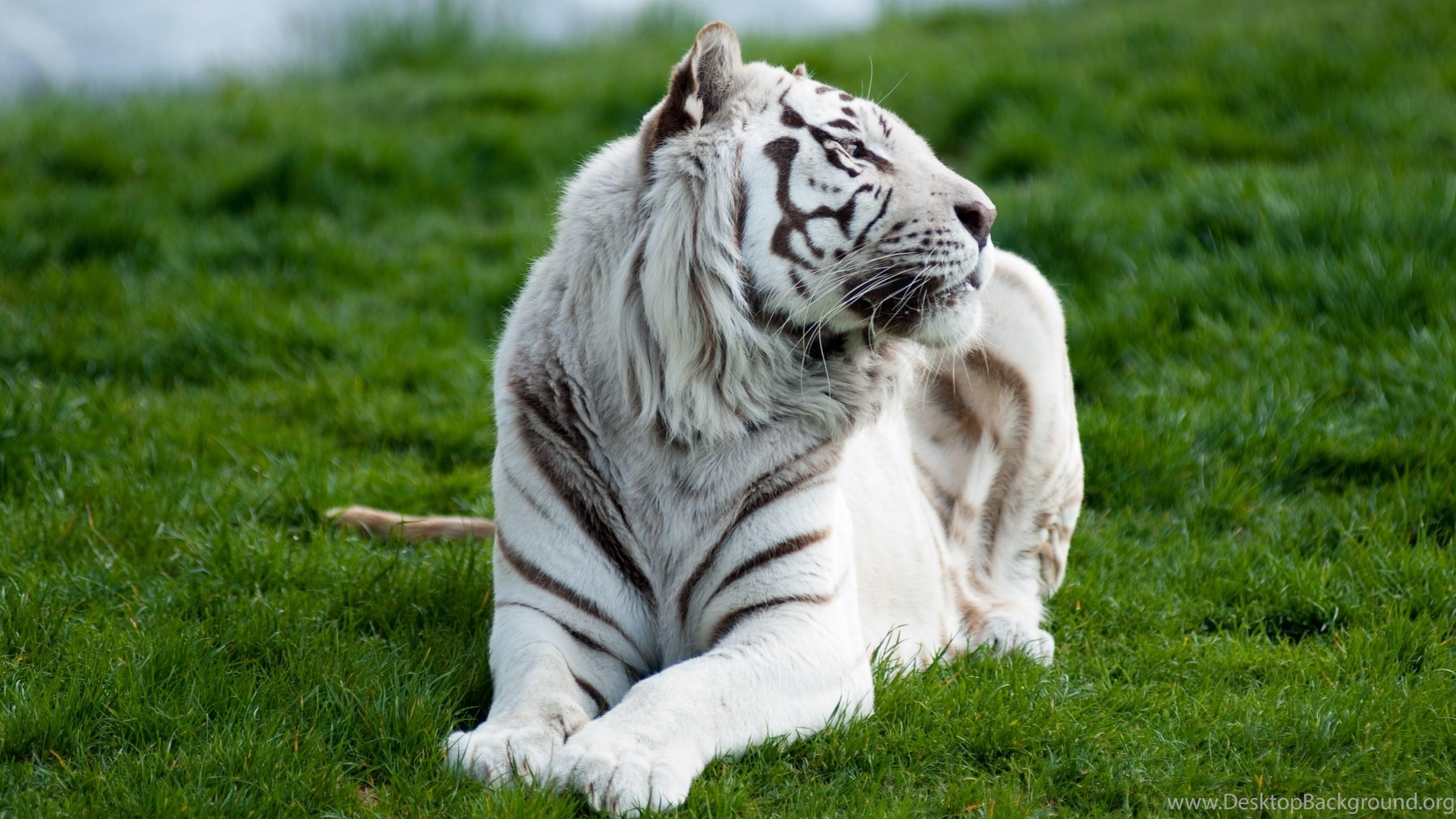 white tiger computer wallpapers, desktop backgrounds desktop background