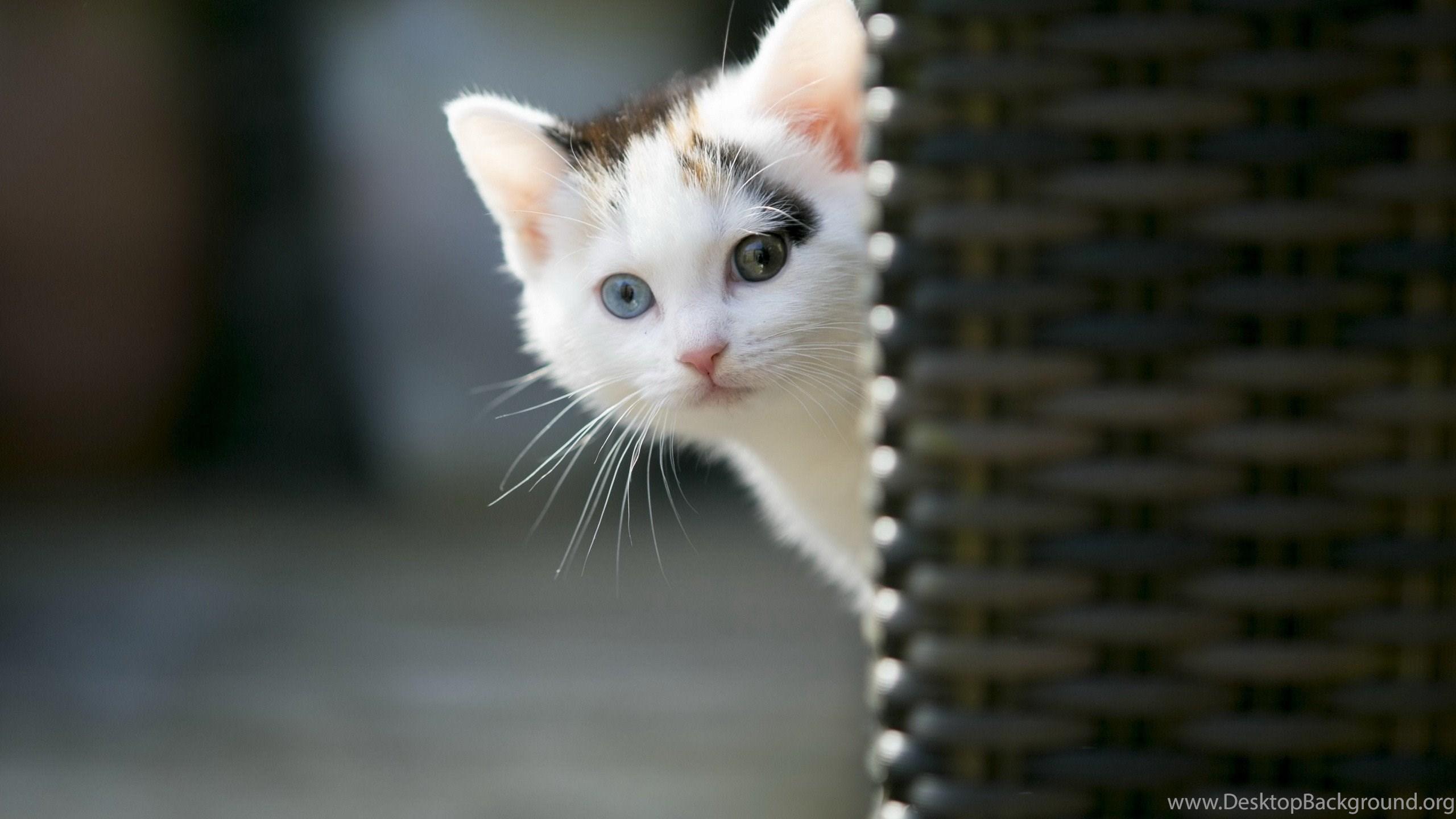 Sweet cat kitty animals cats kitten cute cats wallpapers - Cute kitten backgrounds for desktop ...