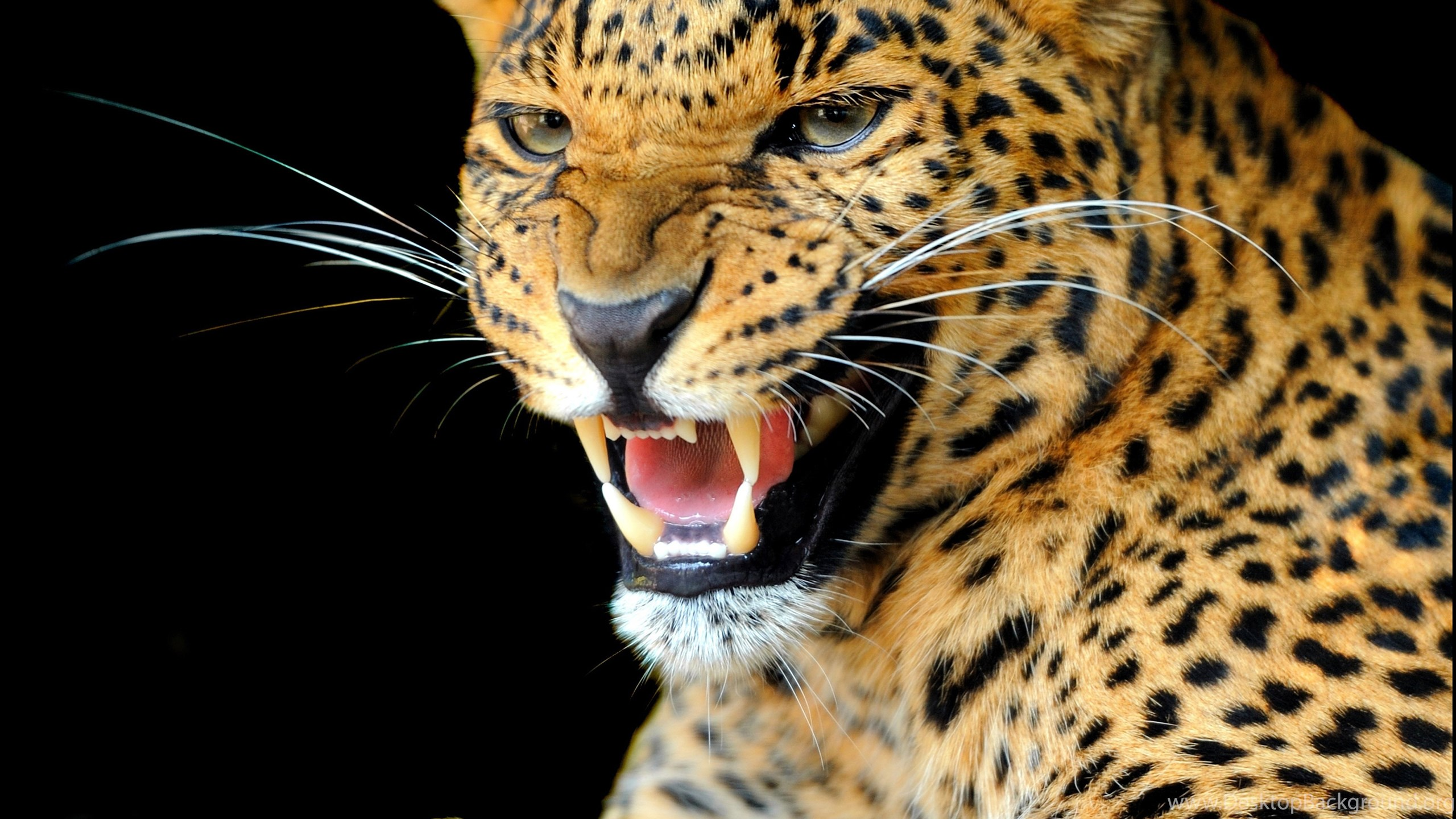 Animals Happy Wallpapers Hd Desktop And Mobile Backgrounds: Animals, Jaguars Wallpapers HD / Desktop And Mobile