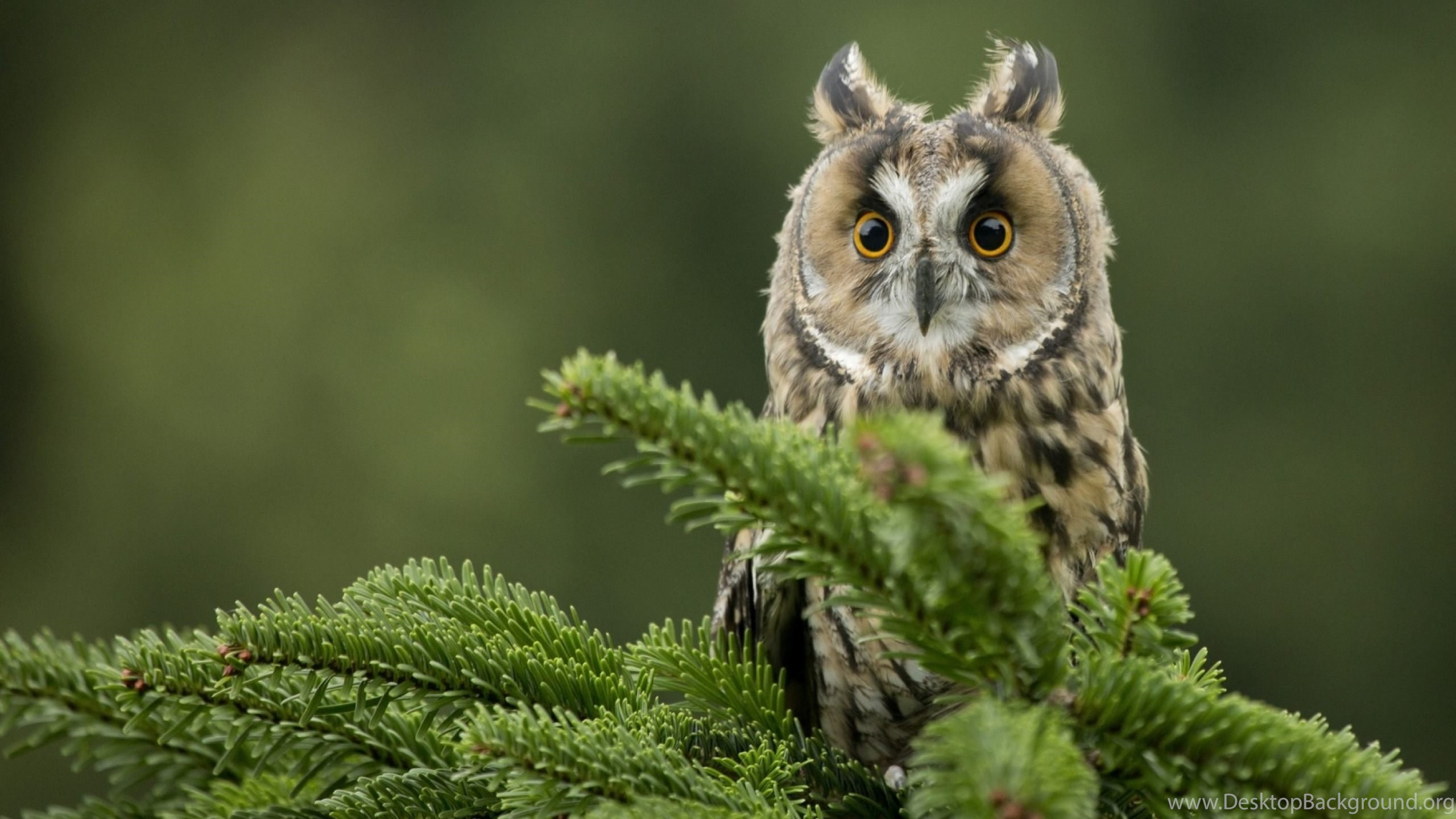 Owl wallpapers for desktop free download of cute owl bird desktop netbook voltagebd Images