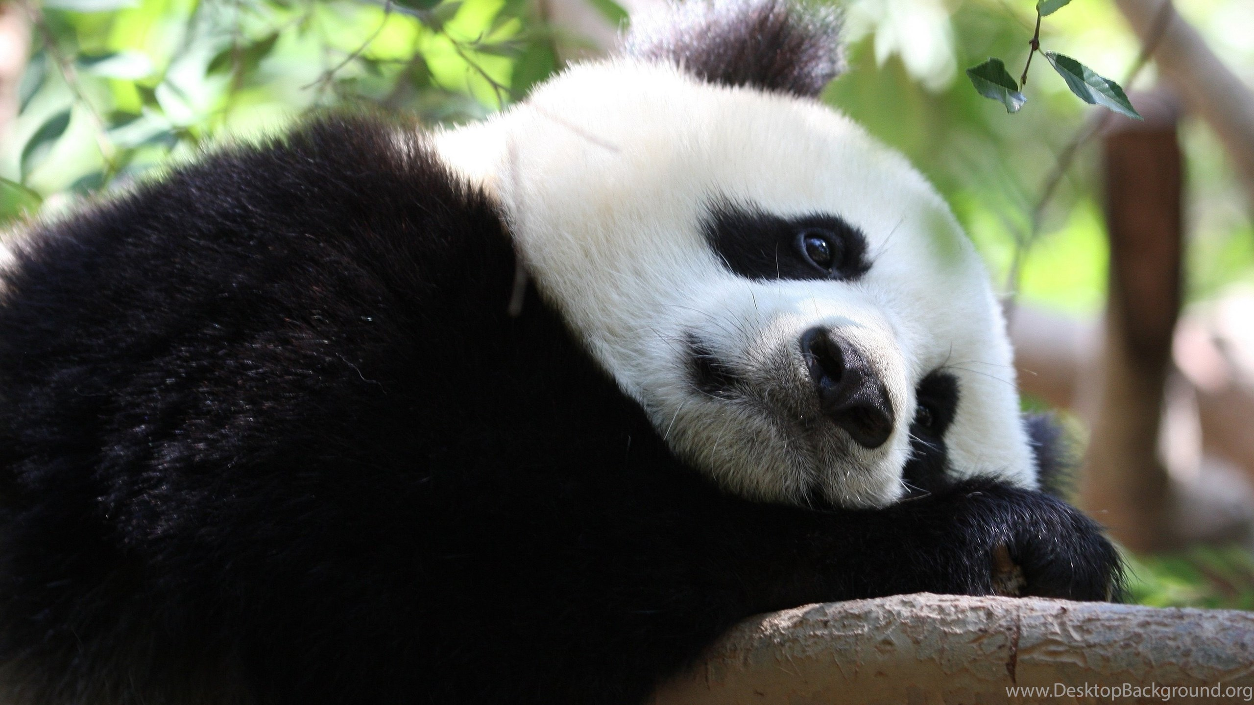 Cute Baby Panda Wallpapers For Android Animal