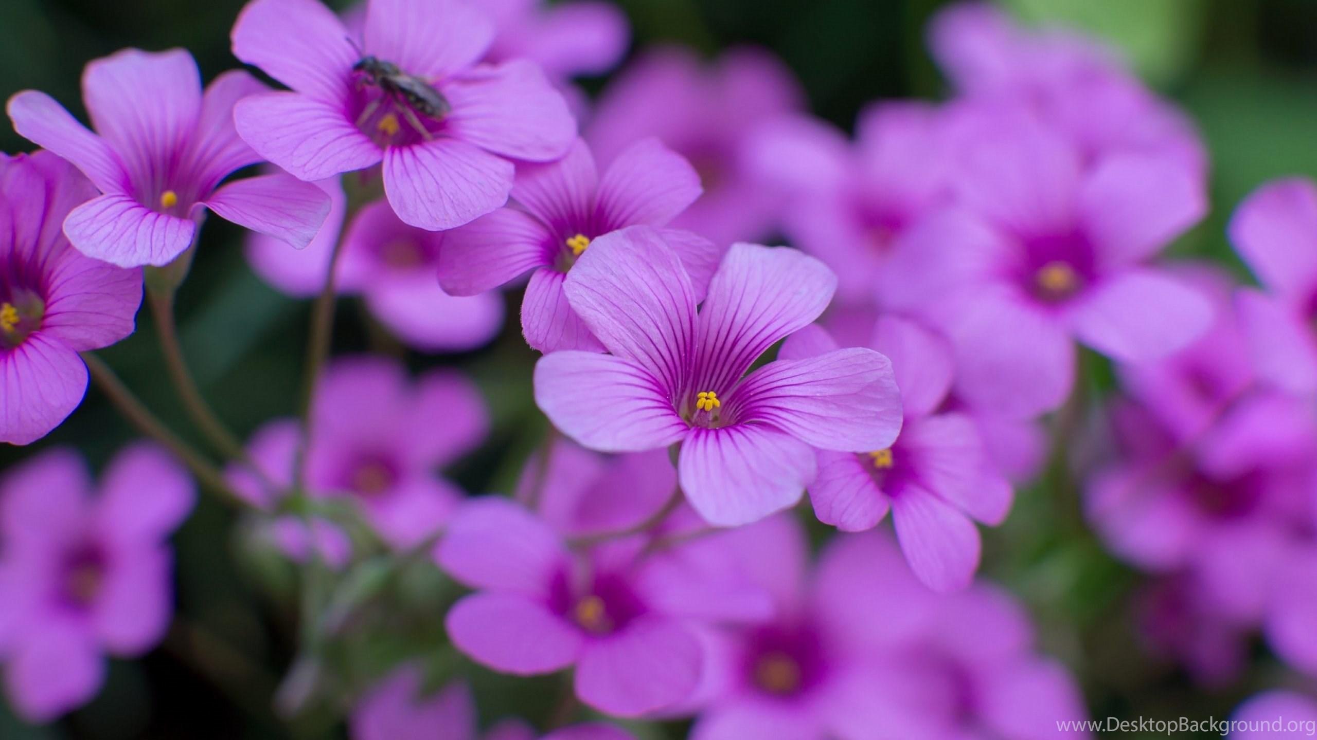 Oxalis Beautiful Flowers Wallpapers Hd Download For Desktop Desktop