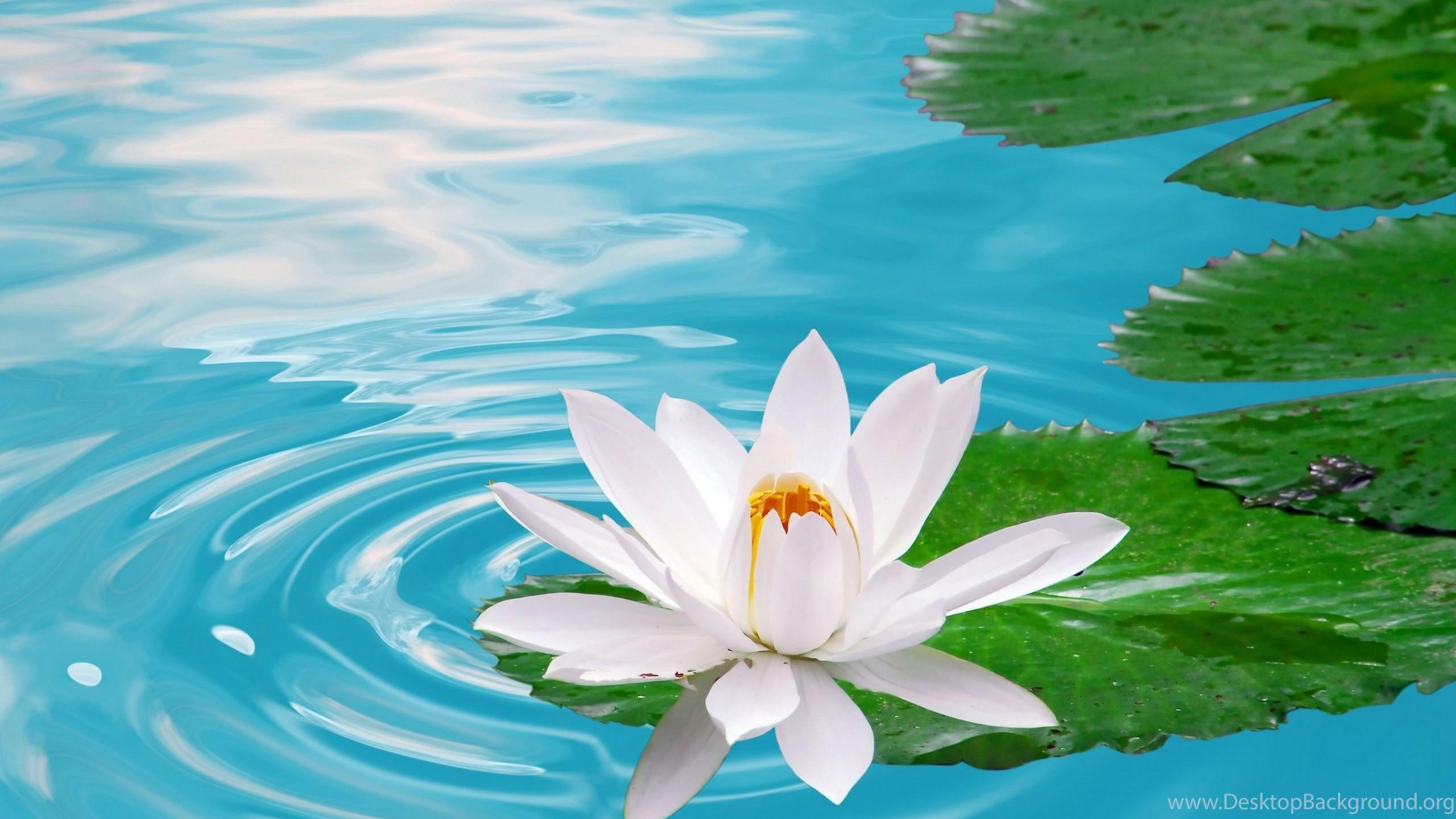 White Lotus Flower Wallpapers Desktop Background