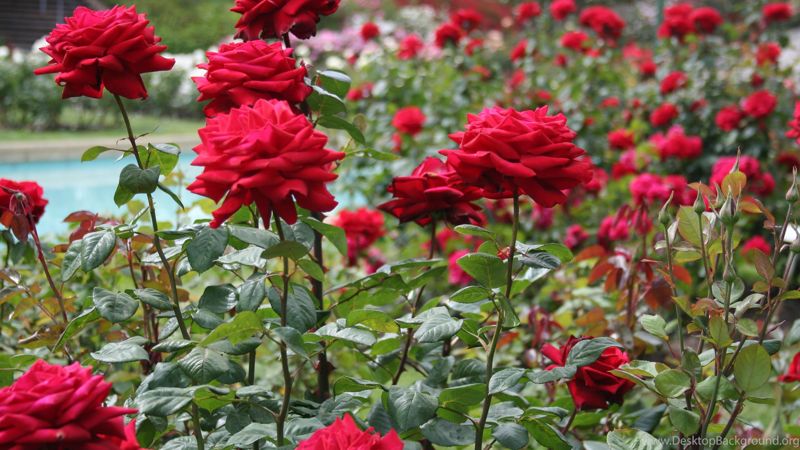 high quality rose garden wallpapers desktop background