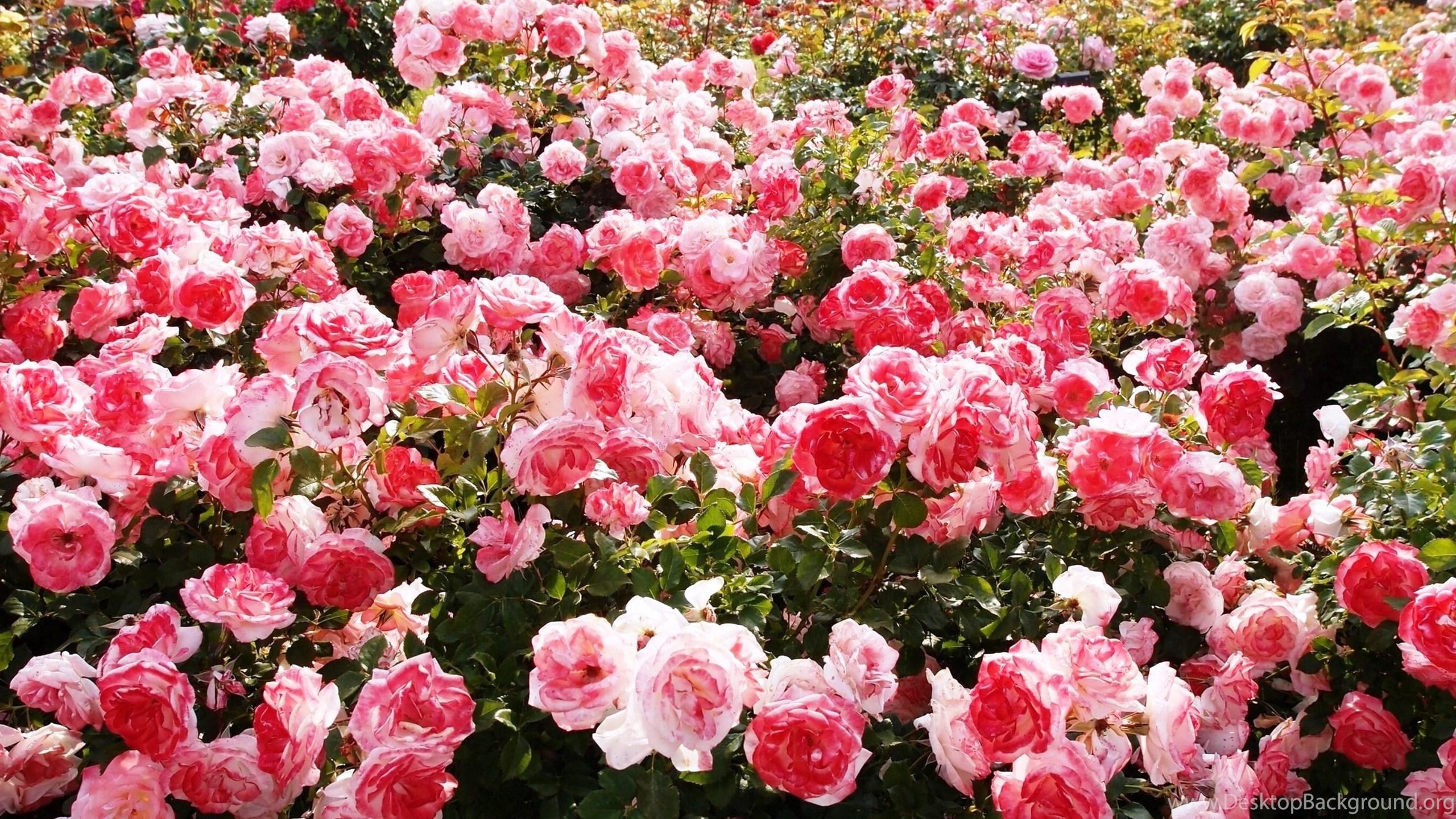 Roses In Garden: JustShare Desktop Background