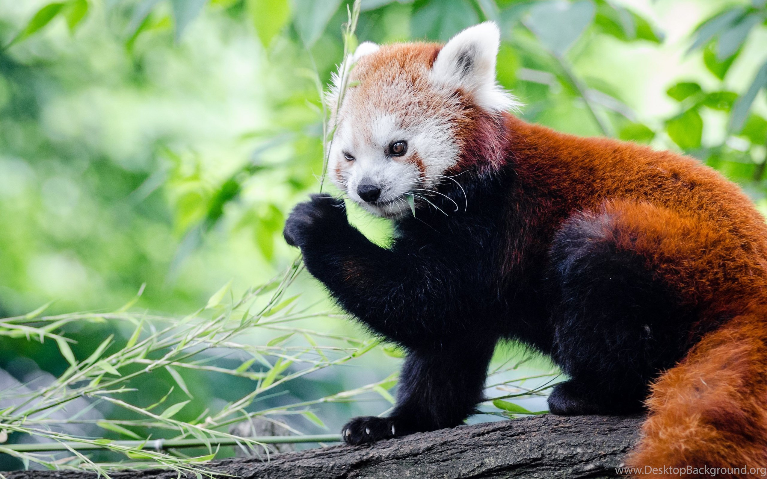 the red panda The red panda is divided into two sub-species, of which the af styani is found in the southwestern region of china in yunnan and sichuan, and the af fulgens, which is slightly smaller in size, is found.