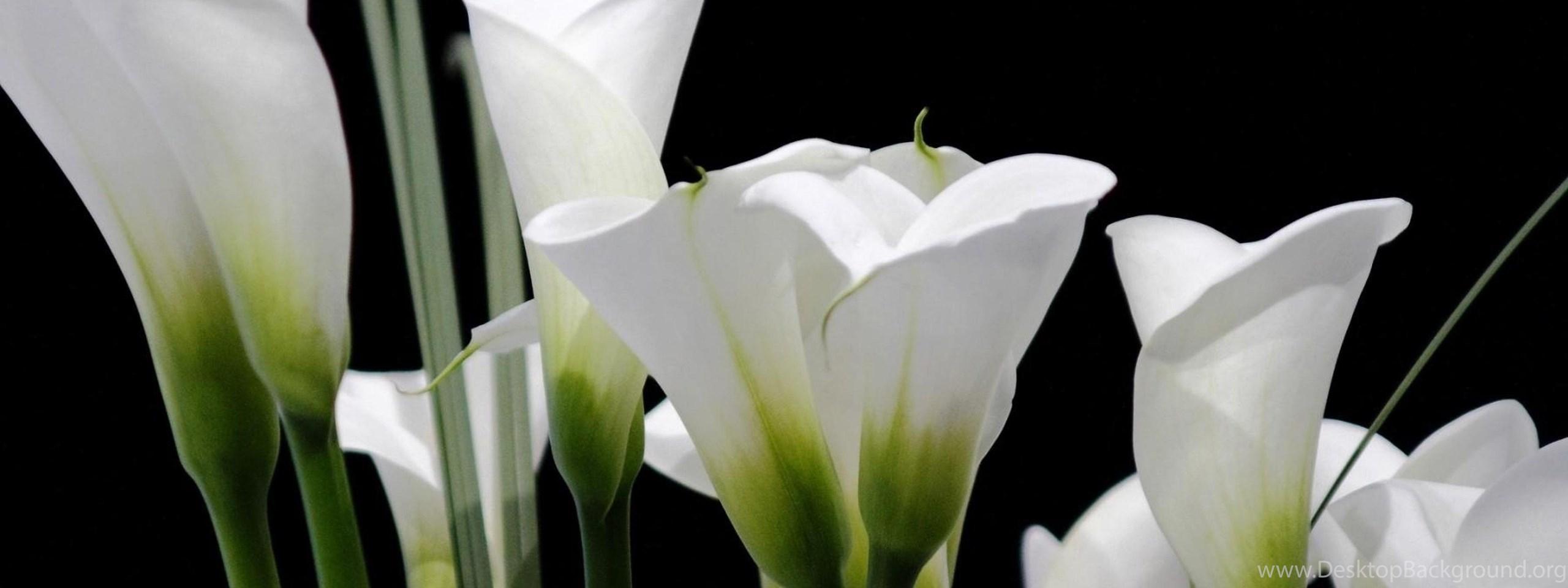Delicate Calla Lilies HD Desktop Wallpaper for K Ultra HD TV
