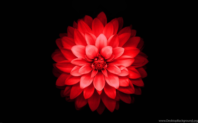 IPhone 6 Plus Red Lotus Flower Retina Wallpaper Desktop Background