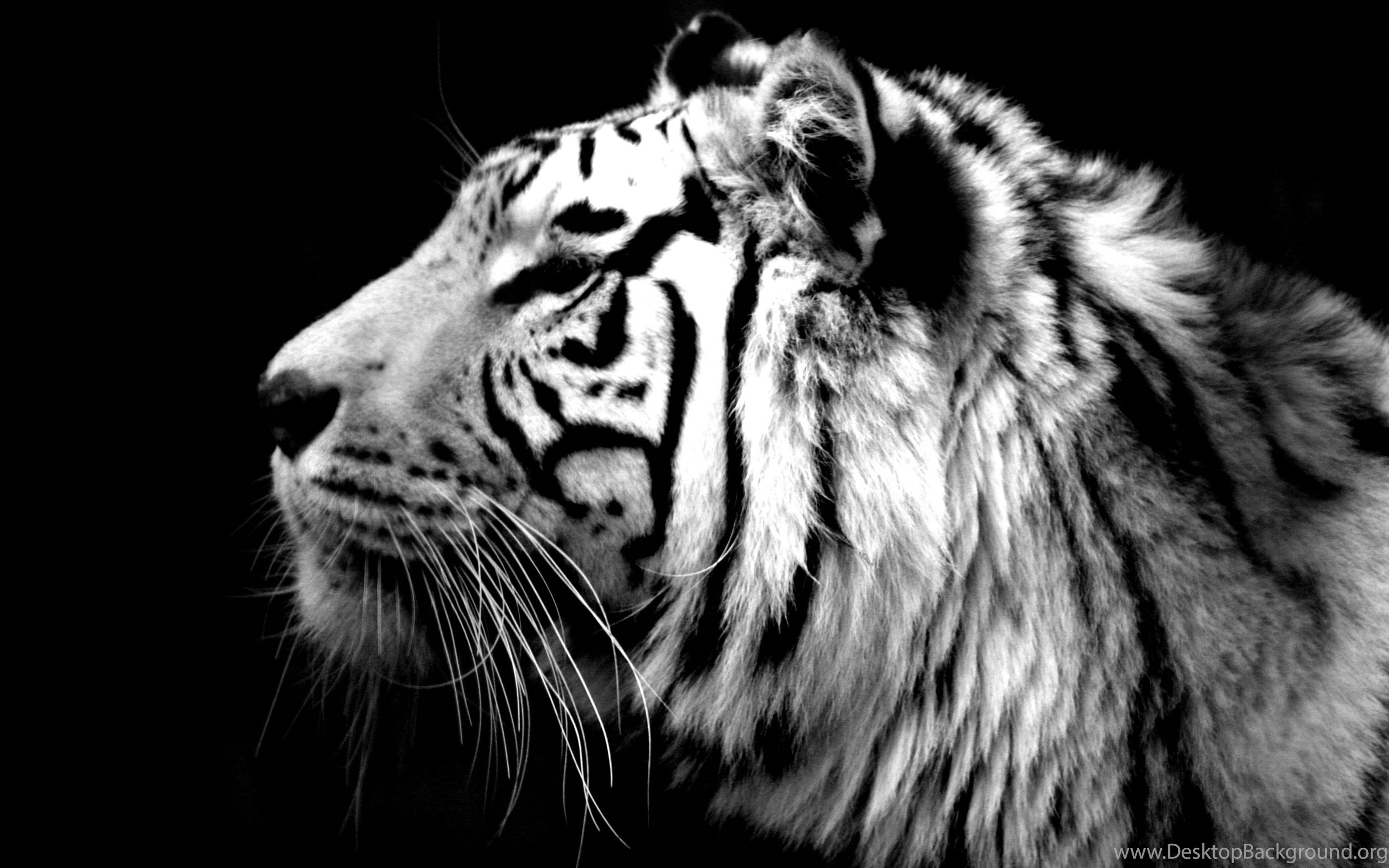black and white tiger wallpapers hd resolution : animal wallpapers