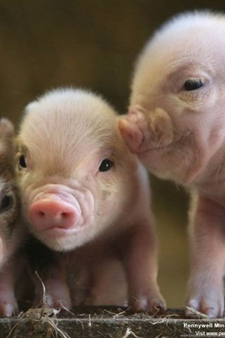 Baby Pig Wallpaper Picture Photo