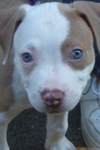Red Nose Pitbull Puppies Photos Desktop Background