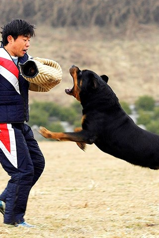 Rottweiler Dog Angry Top Images Hd Wallpapers Desktop Background