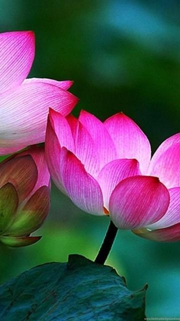 Buddha Lotus Wallpaper Wwwpicswecom
