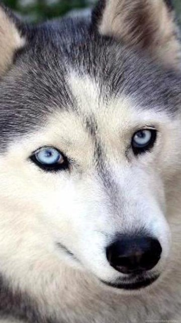 Face Siberian Husky Wallpapers Hd Desktop Background