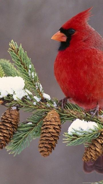 Winter cardinal bird computer backgrounds 3821 hd - Winter cardinal wallpaper ...