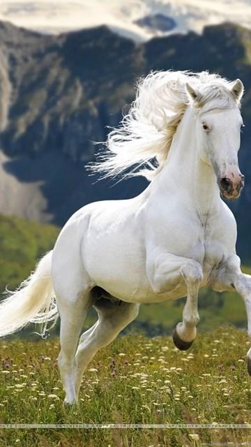 White Horse Best Hd Wallpapers 4999 Hd Wallpapers Desktop Background