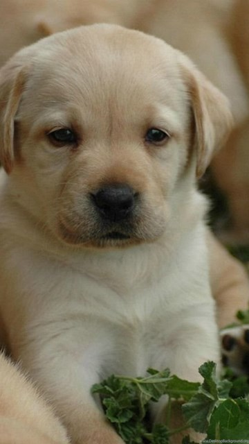 Hd Background Wallpaper 800x600: Cute Labrador Retriever Puppies Wallpapers HD Free