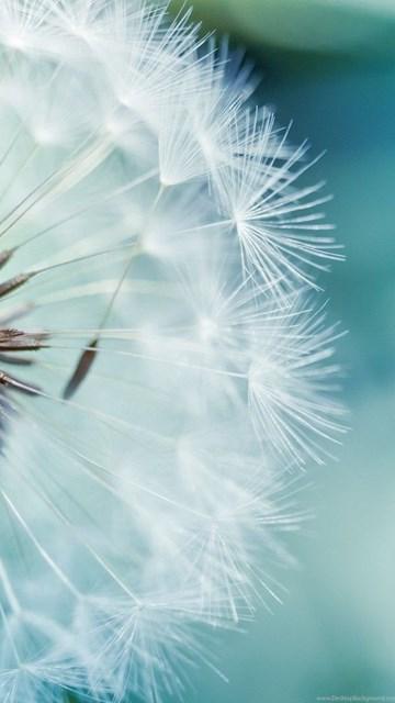 Dandelion White Backgrounds Wallpaper Desktop Background