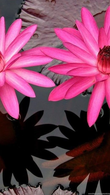 Desktop wallpapers flowers backgrounds rare pink flowers www desktop background exif data mightylinksfo