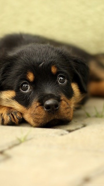 Free Photo Rottweiler Puppy Dog Backgrounds Free Image On