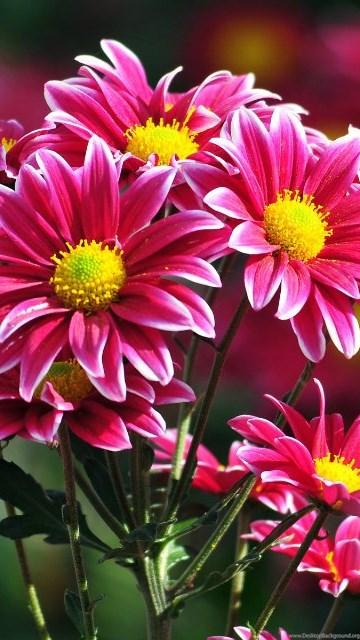 free download most beautiful flowers wallpapers desktop background