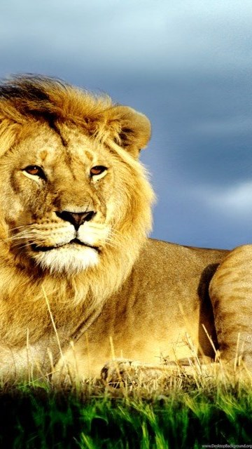 King Of Jungle Big Lion Hd Wallpapers Desktop Background