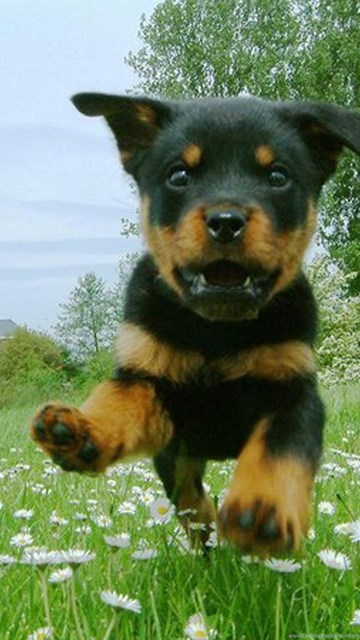 Download Dogs Dogs Puppy Of Rottweiler Is Flying Wallpapers Desktop
