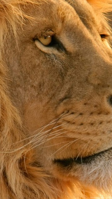 Majestic Lion Nature Wallpapers Hd Wallpapers Desktop Background