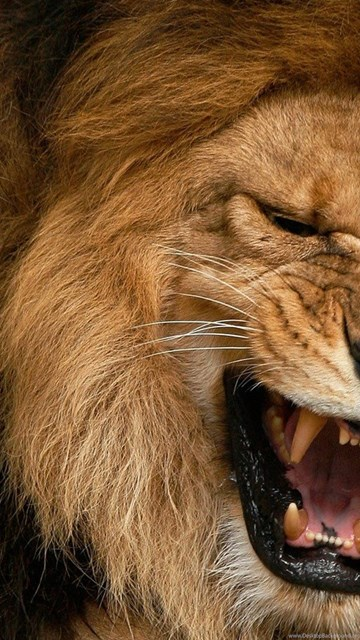 Lion Angry Lion Wallpapers Hd Free Download Fine Hd Wallpapaper Rr