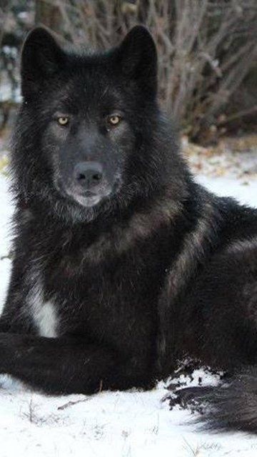 Other Leader White Quotes Timber Lone Wolf Pack Wolves Black